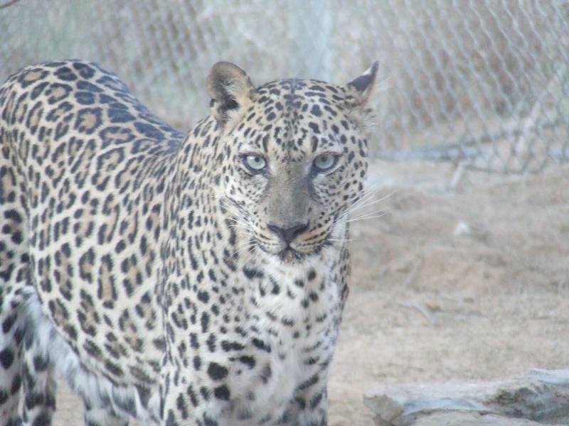 Южноаравийский леопард фото (лат. Panthera pardus nimr)