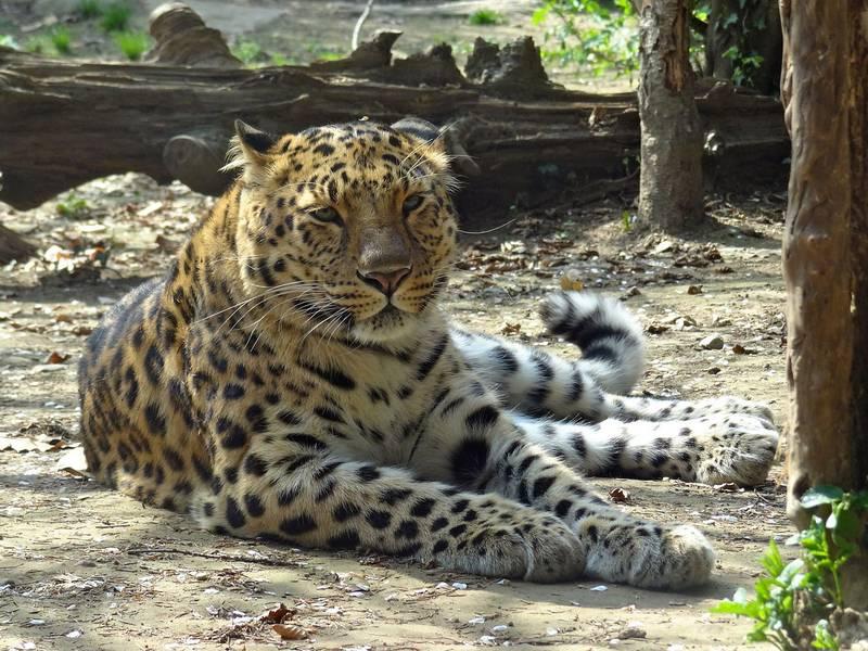 Амурский леопард фото