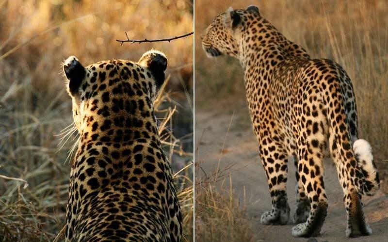 Белые пятнышки леопарда фото