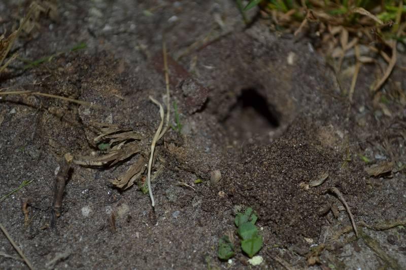 Вход в норку медведки фото