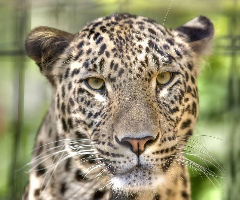 Голова и глаза леопарда фото