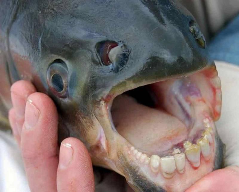 Зубы красного паку фото