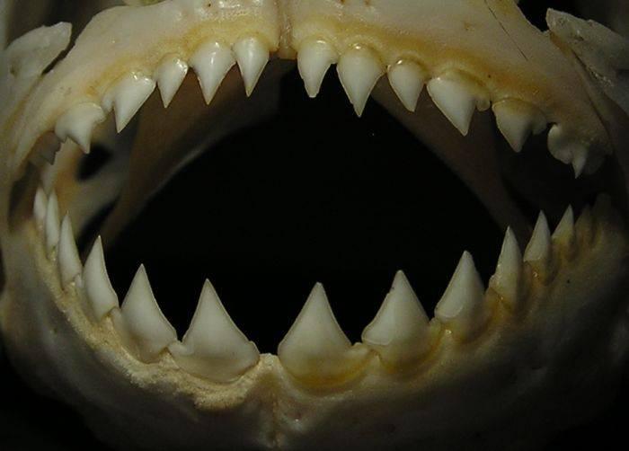 Зубы пираньи обыкновенной фото