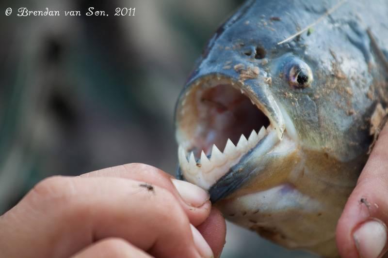 Зубы пираньи фото