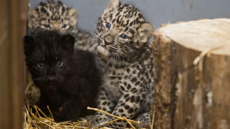 Котенок меланист в помете леопарда фото