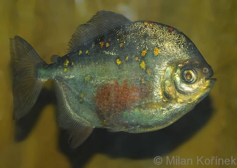 Красноплавничный милей (звездчатый милеус) фото (лат. Myloplus rubripinnis)