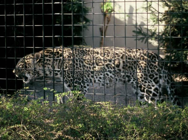 Леопард абундист фото