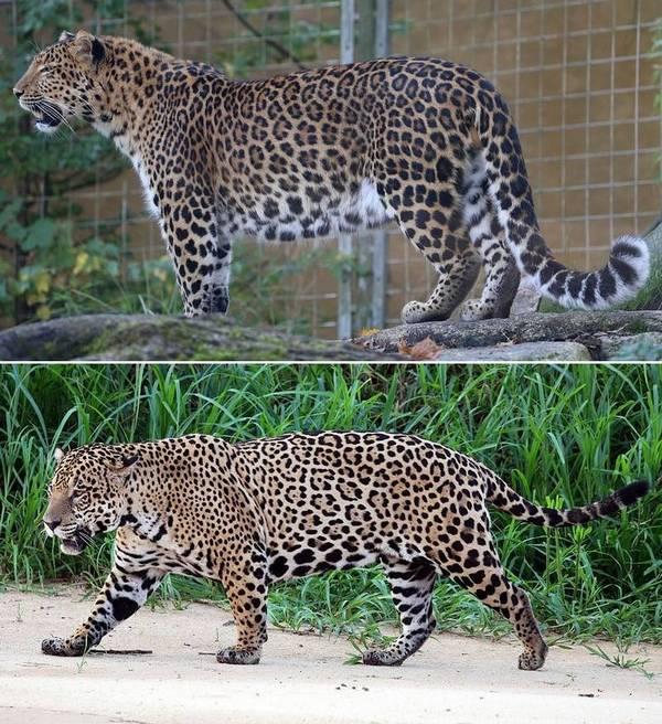 Леопард и ягуар отличия фото