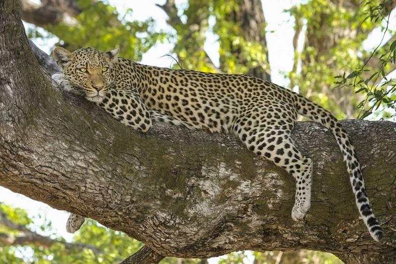 Леопард фото животного