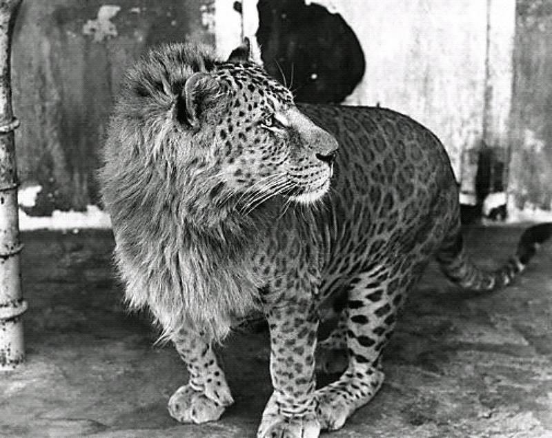 Леопон фото (лат. Panthera pardus×Panthera leo)