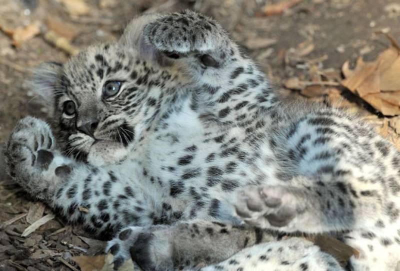 Новорожденный леопард фото