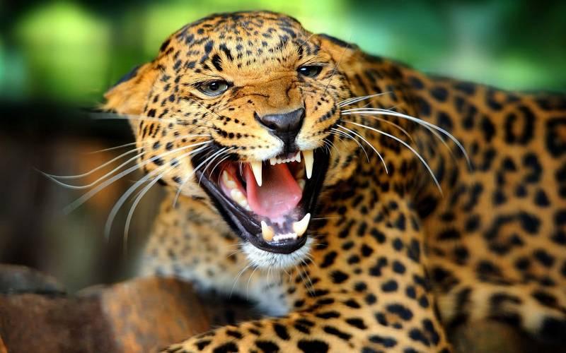 Оскал леопарда фото