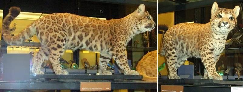 Пумапард фото (лат. Panthera pardus×Puma concolor)