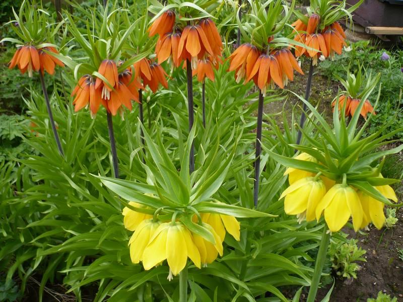 Растения от кротов фото