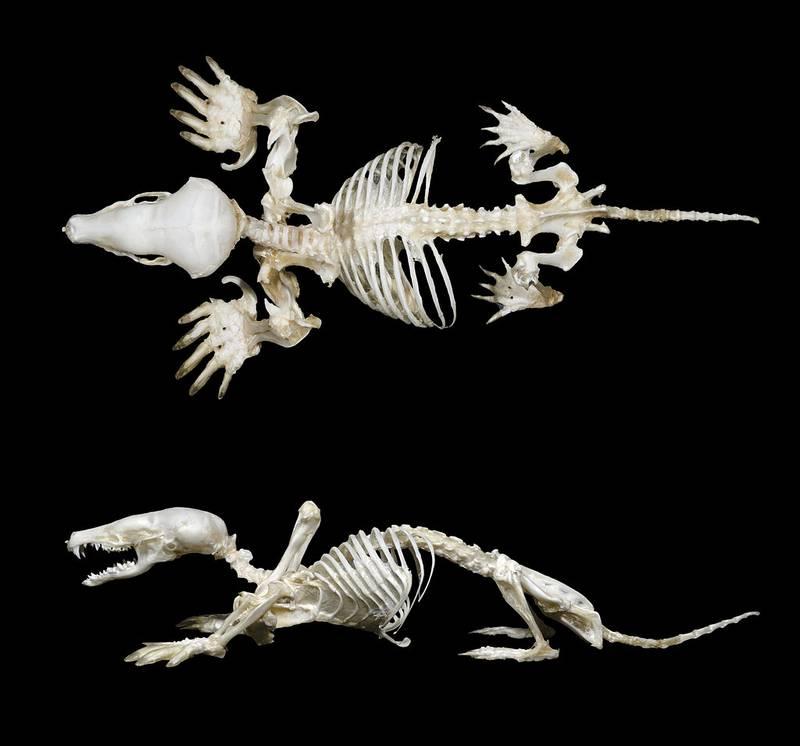 Скелет обыкновенного крота фото