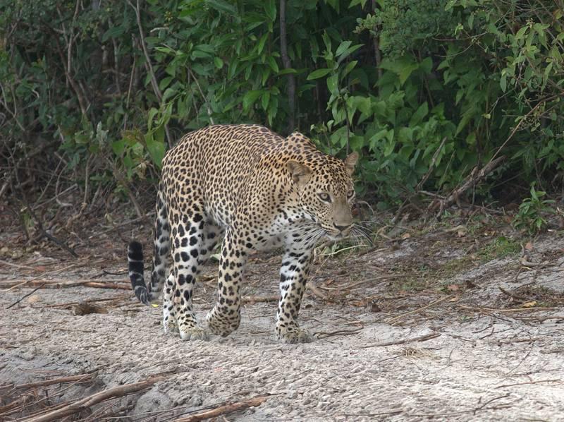 Цейлонский леопард фото(лат.Panthera pardus kotiya)