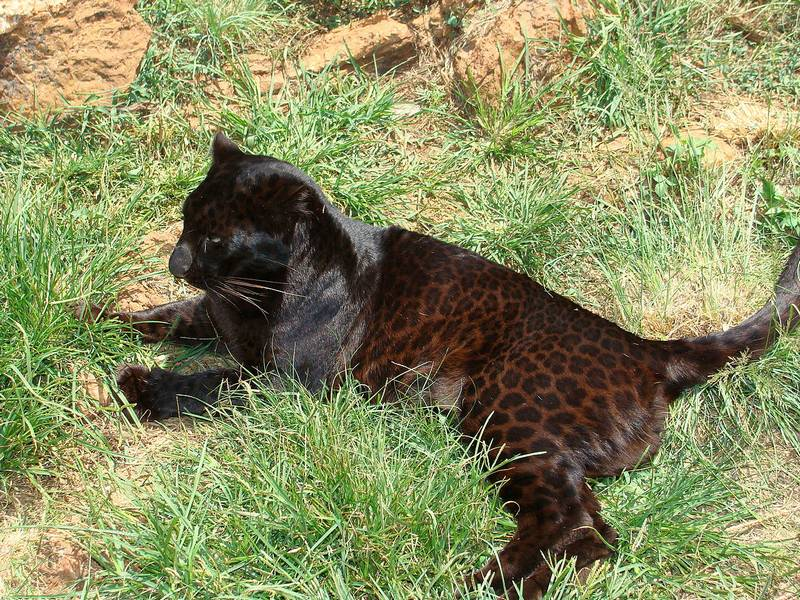 Черный леопард фото
