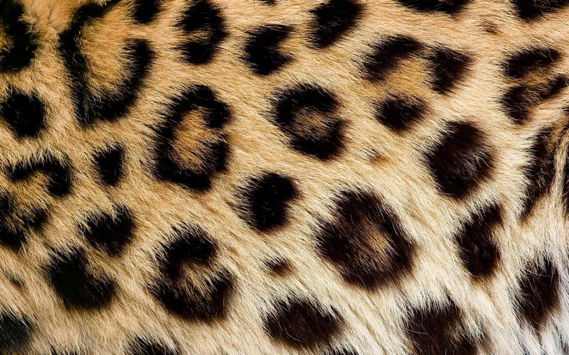 Шерсть леопарда фото