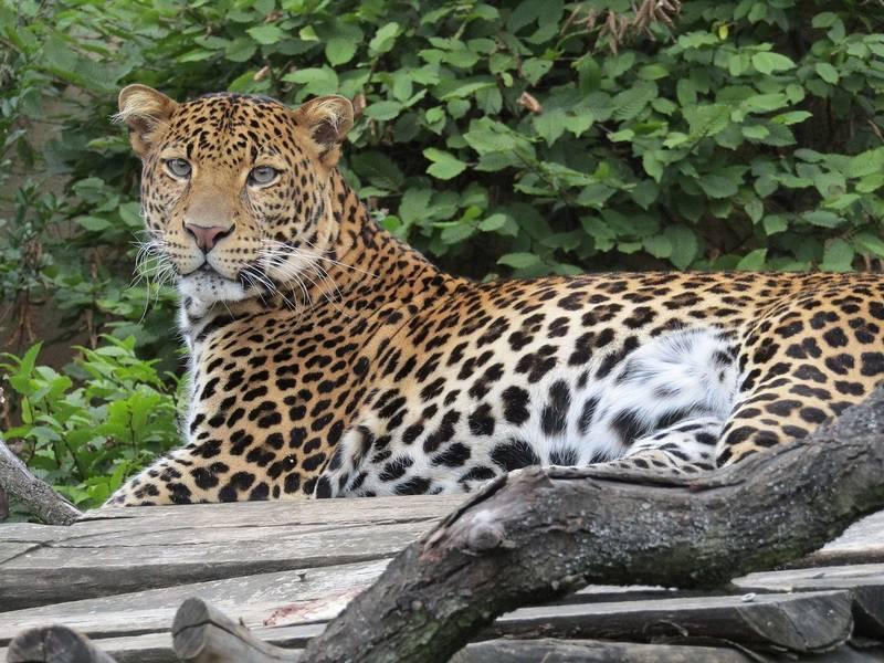 Яванский леопард фото (лат. Panthera pardus melas)
