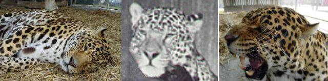Ягопард фото