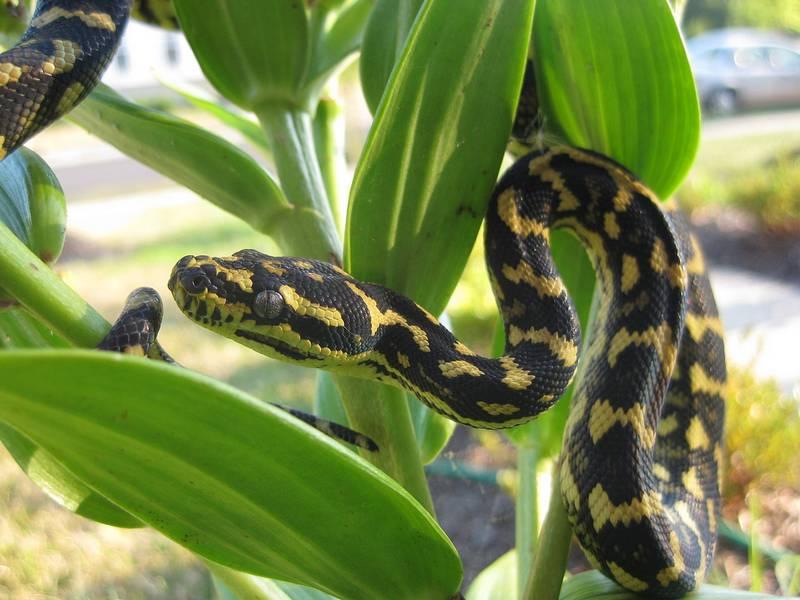 Ковровый питон (ковровая змея, ромбический питон) фото (лат.Morelia spilota cheynei)
