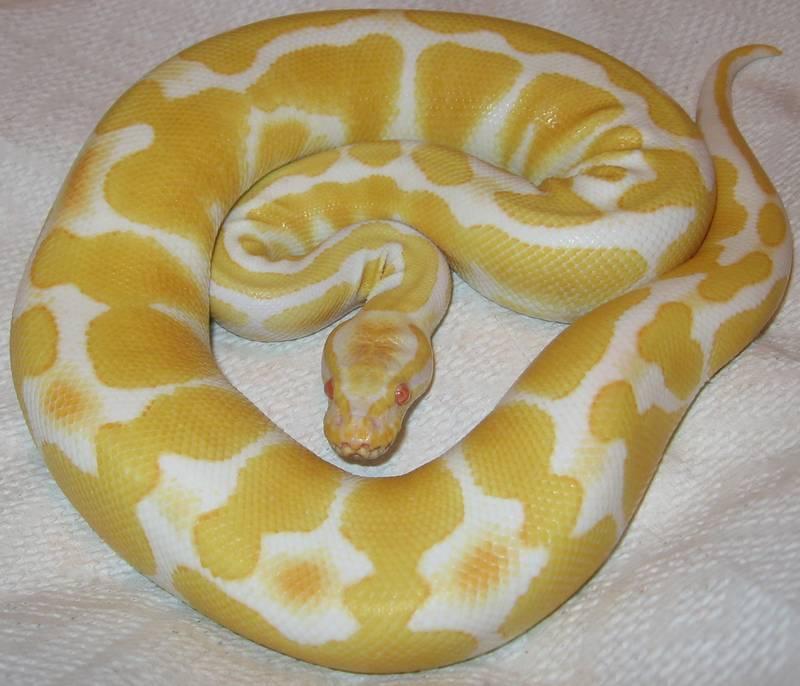 Королевский питон альбинос фото