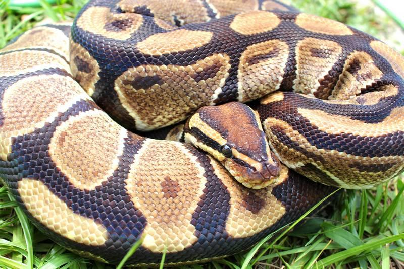 Королевский питон (питон-мяч, шаровой питон) фото (лат. Python regius)