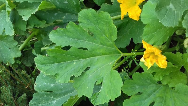 Листья кабачка фото