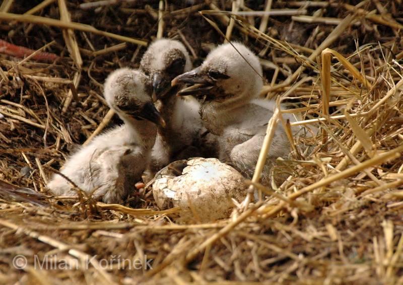 Новорожденные аистята фото