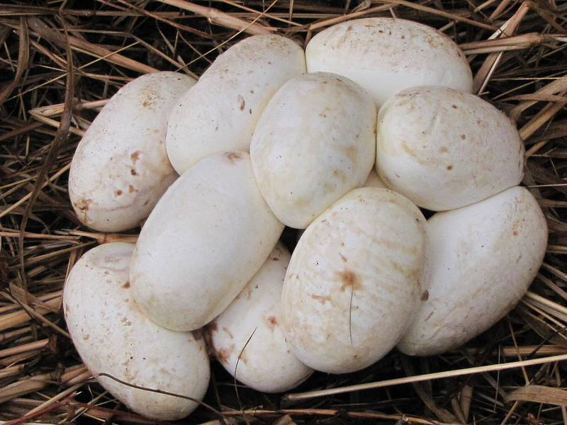 Яйца тигрового питона фото