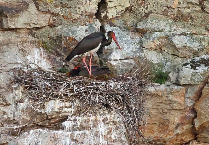 Гнездо черных аистов фото