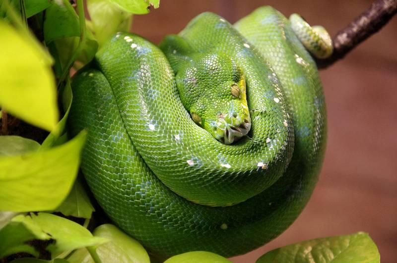 Зеленый древесный питон фото (лат. Morelia viridis)