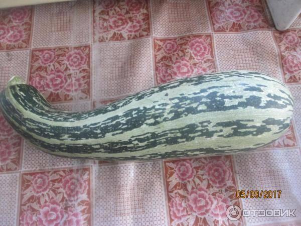 Кабачок-цуккини сорт Куанд фото