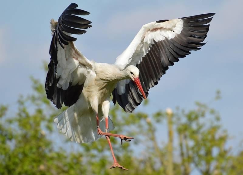 Крылья белого аиста фото