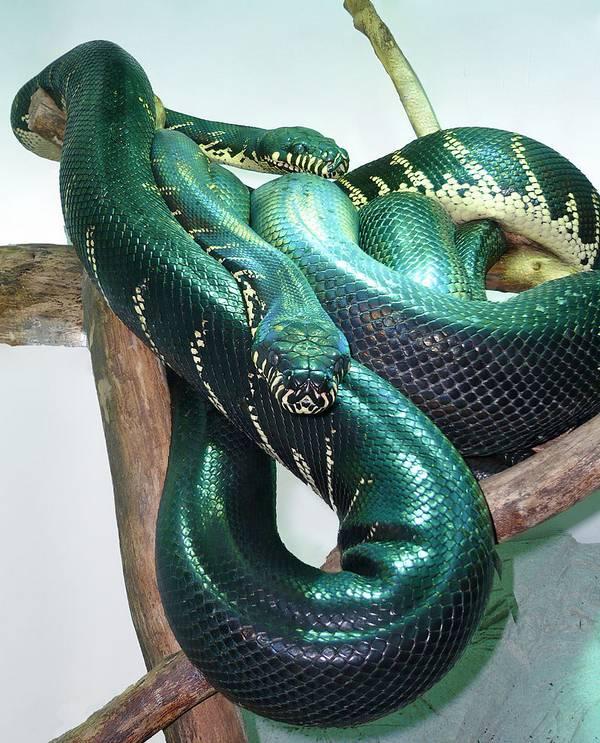 Питон змея фото