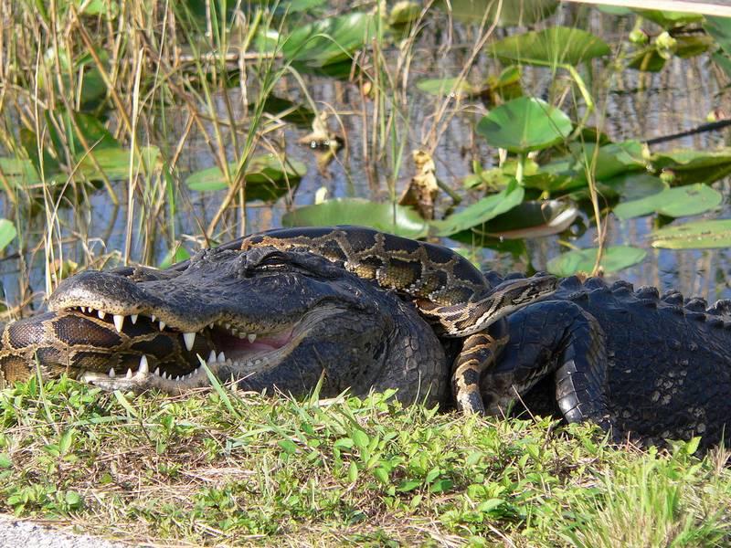 Питон и аллигатор фото