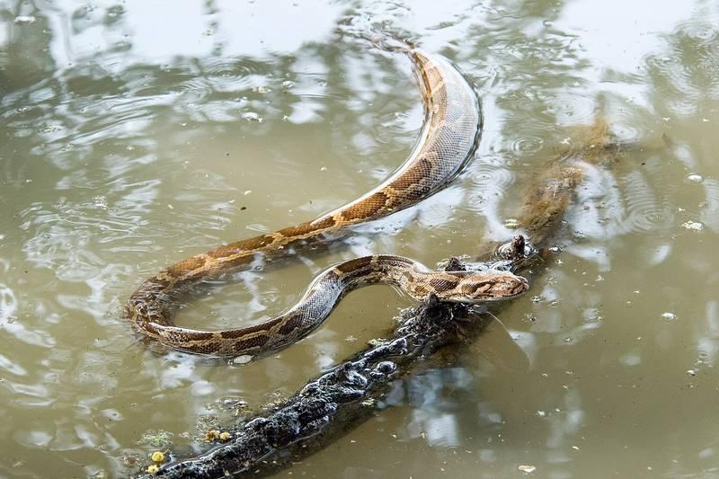 Светлый тигровый питон в воде фото (лат. Python molurus molurus)