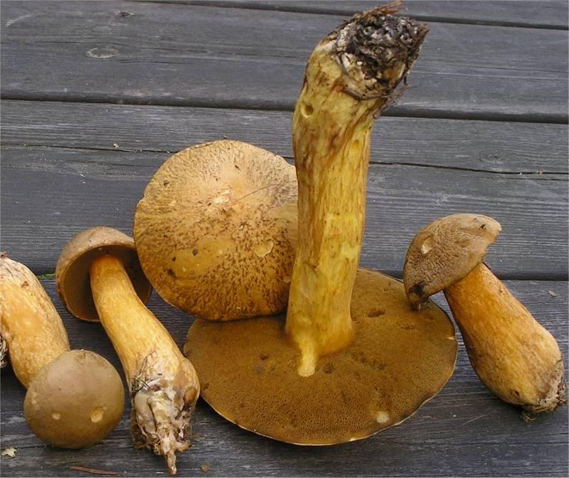 Желто-бурые моховики фото (лат. Suillus variegatus)