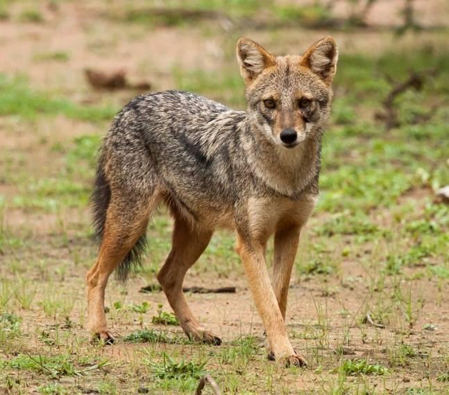 Обыкновенный шакал (азиатский шакал) фото (лат.Canis aureus)
