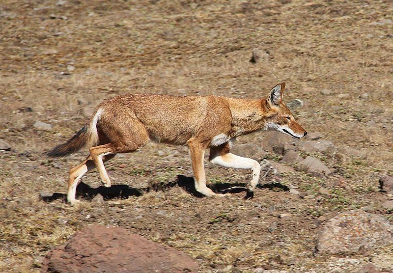 Эфиопский шакал фото(лат.Canis simensis)