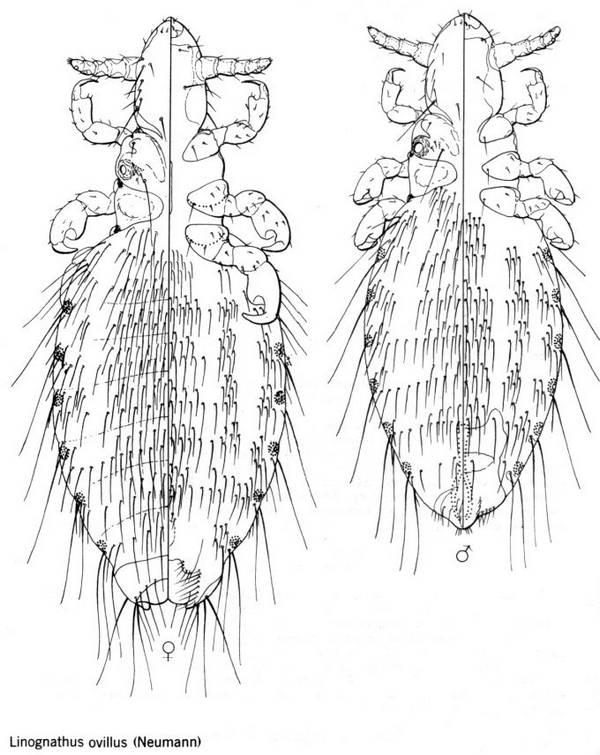 Линогнат овечий фото (лат. Linognathus ovillus)