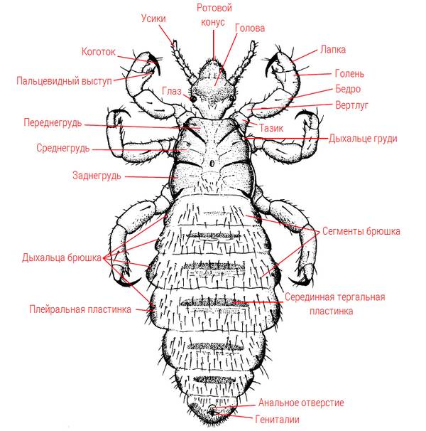 Строение вши на примере Haematopinus suis фото