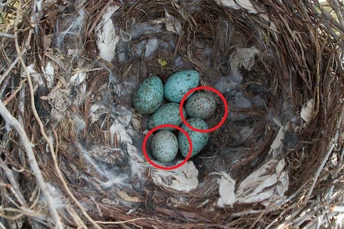 Яйца хохлатой кукушки в чужом гнезде фото