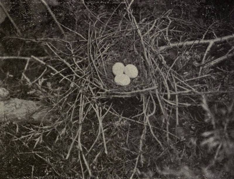 Гнездо черноклювой американской кукушки фото