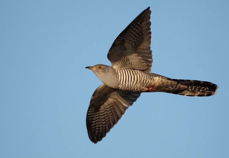 Крылья кукушки обыкновенной фото
