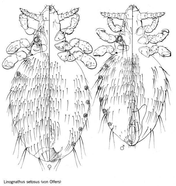 Линогнат щетинистый (лат. Linognathus setosus)