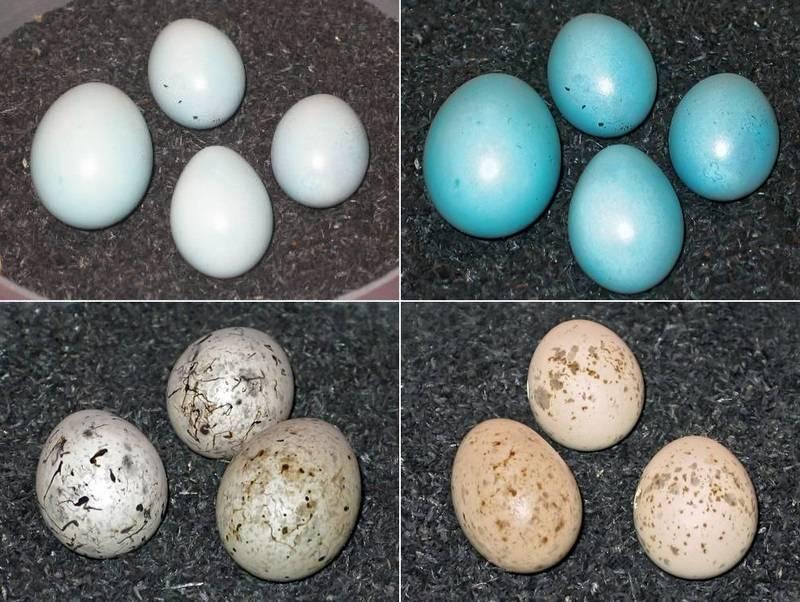 Яйца обыкновенной кукушки фото