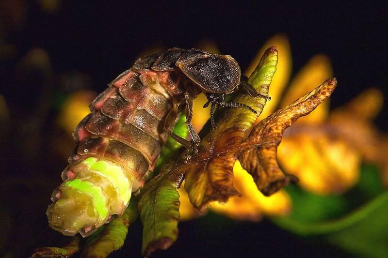 Самка обыкновенного светляка на дереве фото