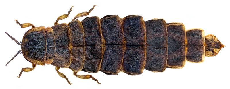 Самка обыкновенного светлячка фото