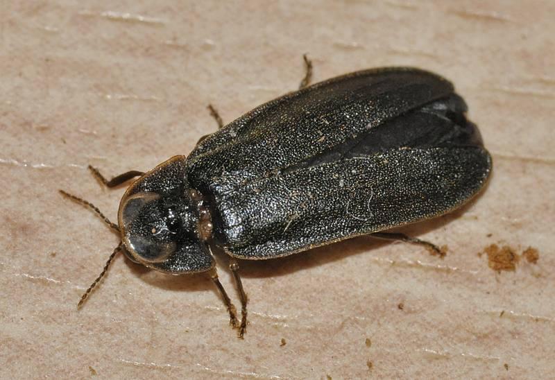 Среднеевропейский червь (светящийся червь) фото (лат. Lamprohiza splendidula)